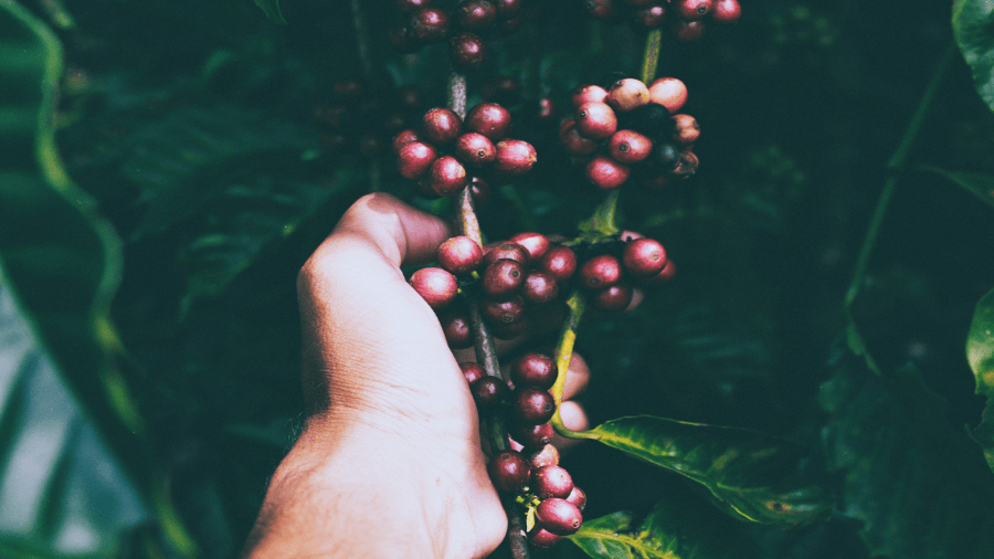 Hand Picking Red Fruit From Branch With Green Leaves