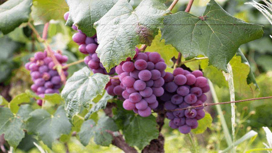 Purple Grapes 900x506