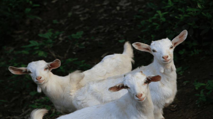 3 Kid Goats 900x506