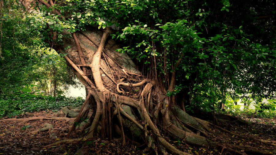 Green Lush Tree Rooted 900x506