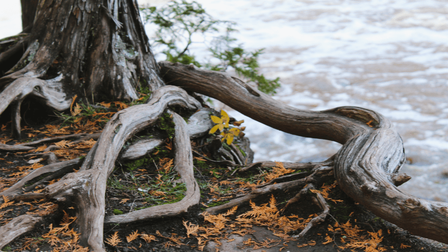 Tree With Roots Near Water 900x506