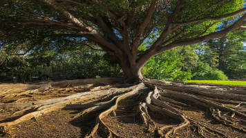 Tree With Very Big Roots 356x200