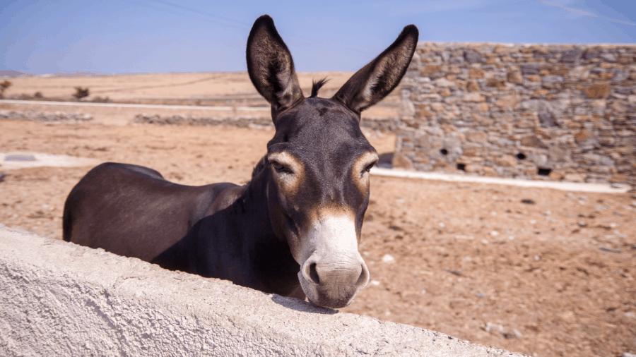 Donkey Tied In Desert 900x506